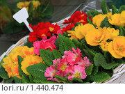 Купить «Цветы-первоцветы», фото № 1440474, снято 29 марта 2009 г. (c) Бельская (Ненько) Анастасия / Фотобанк Лори
