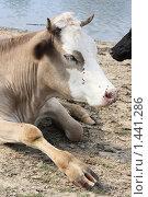 Корова лежит у речки. Стоковое фото, фотограф Yana Geruk / Фотобанк Лори