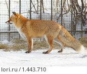 Купить «Рыжая лиса», фото № 1443710, снято 30 января 2010 г. (c) Михаил Борсов / Фотобанк Лори