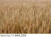 Пшеница. Стоковое фото, фотограф Евгений Гультяев / Фотобанк Лори