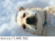 Палевый лабрадор лежащий на снегу. Стоковое фото, фотограф Дмитрий Милехин / Фотобанк Лори