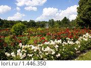 Купить «Розовый сад», фото № 1446350, снято 11 июля 2009 г. (c) ИВА Афонская / Фотобанк Лори