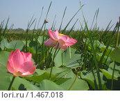 Цветы на воде. Стоковое фото, фотограф Евгений 333 / Фотобанк Лори