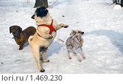 Собачки на прогулке зимой. Стоковое фото, фотограф Валерий Шевцов / Фотобанк Лори