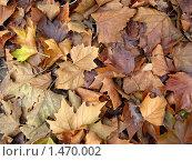 Фон из сухих коричневых опавших листьев клена. Стоковое фото, фотограф Анна Гаматина / Фотобанк Лори