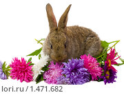 Купить «Кролик с астрами», фото № 1471682, снято 16 сентября 2007 г. (c) Алексей Ухов / Фотобанк Лори