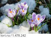Купить «Первые цветы - крокусы в снегу», фото № 1478242, снято 26 апреля 2009 г. (c) Елена Блохина / Фотобанк Лори