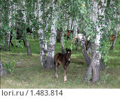 Купить «Жеребёнок и разошедшийся в лесу табун», фото № 1483814, снято 9 августа 2008 г. (c) Людмила Банникова / Фотобанк Лори
