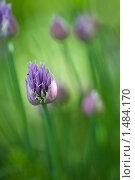 Цветущий лук в саду. Стоковое фото, фотограф Сергей Данилов / Фотобанк Лори