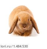 Купить «Кролик карликовый вислоухий баран», фото № 1484530, снято 15 февраля 2010 г. (c) Василий Вишневский / Фотобанк Лори