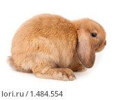 Купить «Кролик карликовый вислоухий баран», фото № 1484554, снято 15 февраля 2010 г. (c) Василий Вишневский / Фотобанк Лори