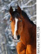 Купить «Портрет гнедой лошади в зимнем лесу», фото № 1485126, снято 2 февраля 2010 г. (c) Титаренко Елена / Фотобанк Лори