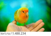 Разноцветный попугай неразлучник сидит на руке. Стоковое фото, фотограф Анна Макеичева / Фотобанк Лори