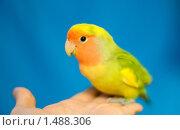 Попугай неразлучник сидит на руке. Стоковое фото, фотограф Анна Макеичева / Фотобанк Лори