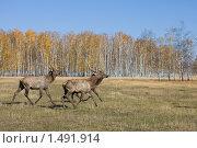 Купить «Бегущие олени», фото № 1491914, снято 4 октября 2008 г. (c) Евгений Гультяев / Фотобанк Лори