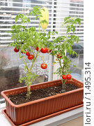 Купить «Выращивание помидоров на подоконнике», фото № 1495314, снято 19 февраля 2010 г. (c) Gagara / Фотобанк Лори