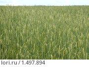 Поле пшеницы. Стоковое фото, фотограф Дмитрий Степной / Фотобанк Лори