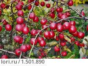 Купить «Зрелые яблоки», фото № 1501890, снято 3 октября 2009 г. (c) Андрей Казаков / Фотобанк Лори