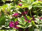 Примула в цвету, фото № 1501962, снято 16 мая 2007 г. (c) Светлана Арешкина / Фотобанк Лори