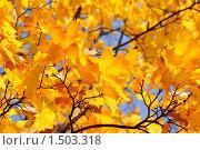 Жёлтые листья клёна. Стоковое фото, фотограф Ткачёва Ольга / Фотобанк Лори