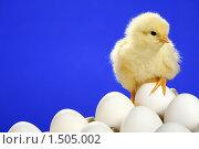 Купить «Цыпленок и белые куриные яйца», фото № 1505002, снято 26 апреля 2009 г. (c) Александр Паррус / Фотобанк Лори