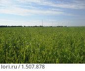 Пшеничное поле. Стоковое фото, фотограф Валерий Нестеров / Фотобанк Лори