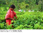 Купить «Сбор чайного листа. Шри-Ланка», фото № 1508926, снято 4 декабря 2008 г. (c) Victor Spacewalker / Фотобанк Лори
