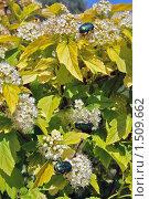 Купить «Жуки на цветках», фото № 1509662, снято 27 июня 2009 г. (c) Андрей Казаков / Фотобанк Лори