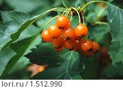 Купить «Оранжевая ягода боярышника», эксклюзивное фото № 1512990, снято 27 августа 2009 г. (c) lana1501 / Фотобанк Лори