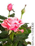 Купить «Цветущая роза с каплями росы», фото № 1514430, снято 17 февраля 2010 г. (c) Юрий Брыкайло / Фотобанк Лори