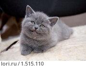 Купить «Улыбающийся котенок британской породы», фото № 1515110, снято 28 февраля 2010 г. (c) Момотюк Сергей / Фотобанк Лори