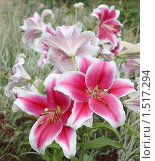 Лилии в саду. Стоковое фото, фотограф Елена Мумрина / Фотобанк Лори