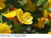 Купить «Ослинник, или Энотера (лат. Oenothera) кустарниковая», эксклюзивное фото № 1522534, снято 11 июля 2009 г. (c) Алёшина Оксана / Фотобанк Лори