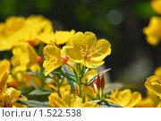 Купить «Ослинник, или Энотера (лат. Oenothera) кустарниковая», эксклюзивное фото № 1522538, снято 11 июля 2009 г. (c) Алёшина Оксана / Фотобанк Лори