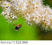 Купить «Рябинник рябинолистный (Sorbaria sorbifolia) и шмель», эксклюзивное фото № 1522966, снято 11 июля 2009 г. (c) Алёшина Оксана / Фотобанк Лори