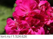 Купить «Герань розовая», фото № 1524626, снято 4 марта 2010 г. (c) Виталий Горяшин / Фотобанк Лори