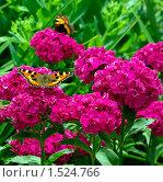 Купить «Бабочки крапивницы на гвоздике», фото № 1524766, снято 19 октября 2019 г. (c) Natalya Sidorova / Фотобанк Лори