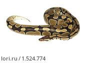 Купить «Питон королевский, Python regius», фото № 1524774, снято 2 марта 2010 г. (c) Василий Вишневский / Фотобанк Лори
