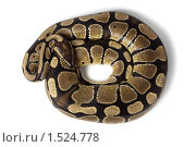 Купить «Питон королевский, Python regius», фото № 1524778, снято 2 марта 2010 г. (c) Василий Вишневский / Фотобанк Лори