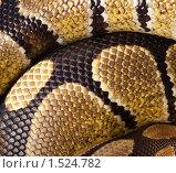 Купить «Питон королевский, Python regius. Фон.», фото № 1524782, снято 2 марта 2010 г. (c) Василий Вишневский / Фотобанк Лори