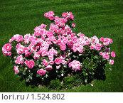 Парк Парадиз в Ялте, розы (2008 год). Стоковое фото, фотограф Екатерина Исаева / Фотобанк Лори