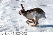 Купить «Заяц бежит по снегу», фото № 1525002, снято 4 марта 2010 г. (c) Яна Королёва / Фотобанк Лори