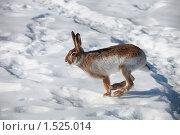 Купить «Заяц зимой», фото № 1525014, снято 4 марта 2010 г. (c) Яна Королёва / Фотобанк Лори
