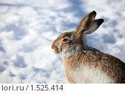 Купить «Заяц», фото № 1525414, снято 4 марта 2010 г. (c) Яна Королёва / Фотобанк Лори
