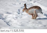 Заяц бежит по снегу. Стоковое фото, фотограф Яна Королёва / Фотобанк Лори
