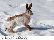 Купить «Заяц на снегу», эксклюзивное фото № 1525570, снято 4 марта 2010 г. (c) Яна Королёва / Фотобанк Лори