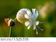 Смолёвка  — род цветковых растений семейства Гвоздичные. Стоковое фото, фотограф Елена Алексеева / Фотобанк Лори