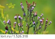 Купить «Бодяк полевой Cirsium arvense, осот», эксклюзивное фото № 1526318, снято 11 июля 2009 г. (c) Алёшина Оксана / Фотобанк Лори