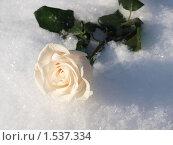 Роза. Стоковое фото, фотограф Юрий Ческидов / Фотобанк Лори