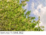 Купить «Черемуха в цвету. Фрагмент», эксклюзивное фото № 1544362, снято 10 мая 2009 г. (c) Алёшина Оксана / Фотобанк Лори